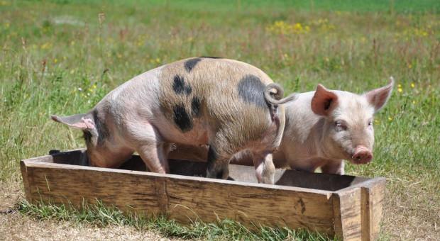 KZP-PTCH: Utrzymywanie świń na wybiegach wyklucza odpowiednią bioasekurację