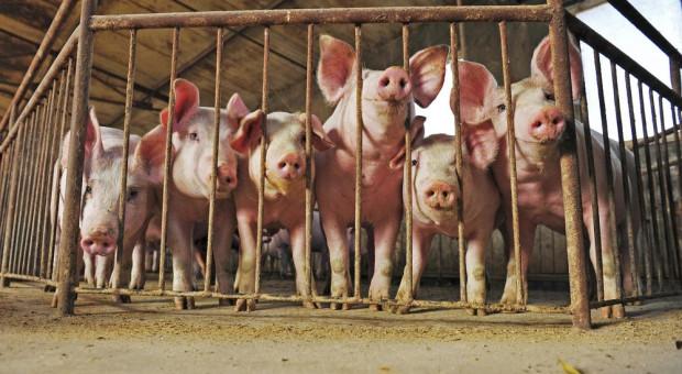 Nowe ognisko ASF i ponad 700 świń do likwidacji
