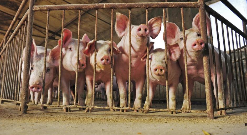 Kolejne ognisko ASF i ponad 700 świń do likwidacji
