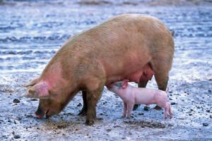 O zakazie utrzymywania świń na wybiegu raz jeszcze