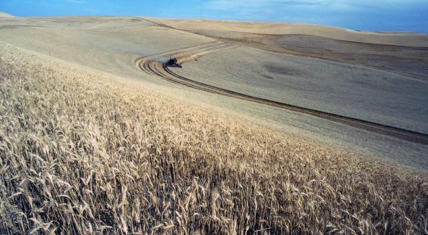W Rosji zebrano prawie 40 mln ton pszenicy