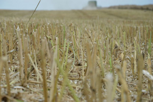 Uprawa pożniwna – pierwszy, szybki zabieg po zbiorach