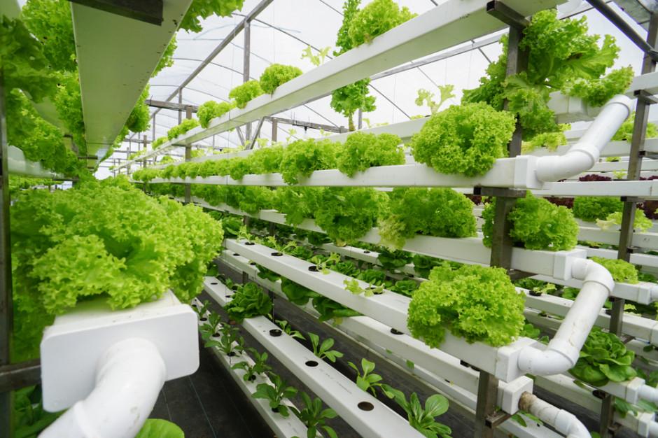 Uprawa hydroponiczna sałaty, fot. Shutterstock