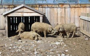 Zwierzęta są utrzymywane w zagrodach na powietrzu, z wiatami pod którymi świnie chronić się mogą przed słońcem i mrozem, Foto: GT