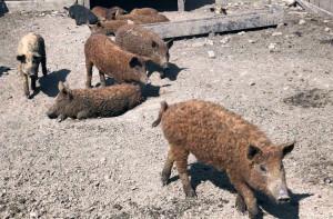 Mangalice to świnie pastwiskowe, pokryte wełnistą sierścią i odporne na warunki atmosferyczne, Foto: GT