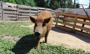 Hodowcy świń na wolnych wybiegach zapowiadają walkę o zachowanie swoich stad, Foto: GT