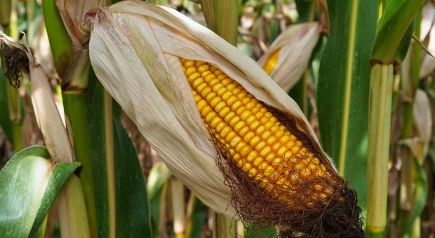 Rekordowe chińskie zakupy kukurydzy w USA