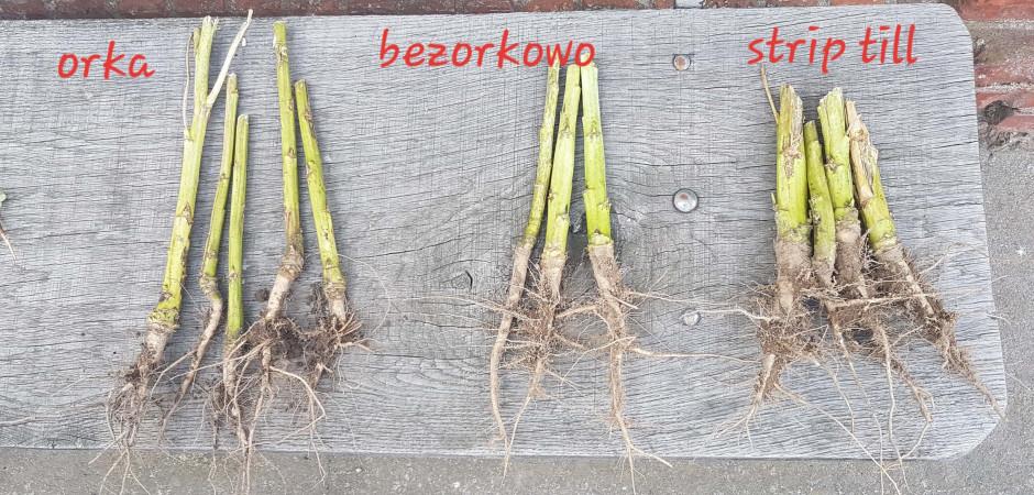Porównanie korzeni roślin z 3 plantacji, fot. RZD IOR-PIB w Winnej Górze.