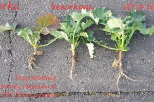 Wyniki uprawy rzepaku w trzech technologiach