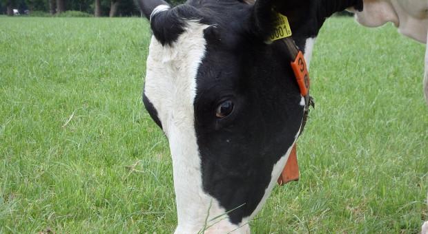 Niderlandy: Działalności zaniecha co trzeci hodowca bydła mlecznego