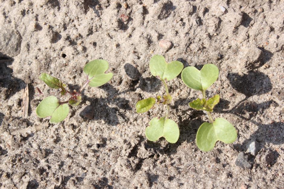Gorczyca podobnie jak rzepak w dobrych warunkach wschodzi już po kilku dniach od wysiewu nasion Fot. A. Kobus