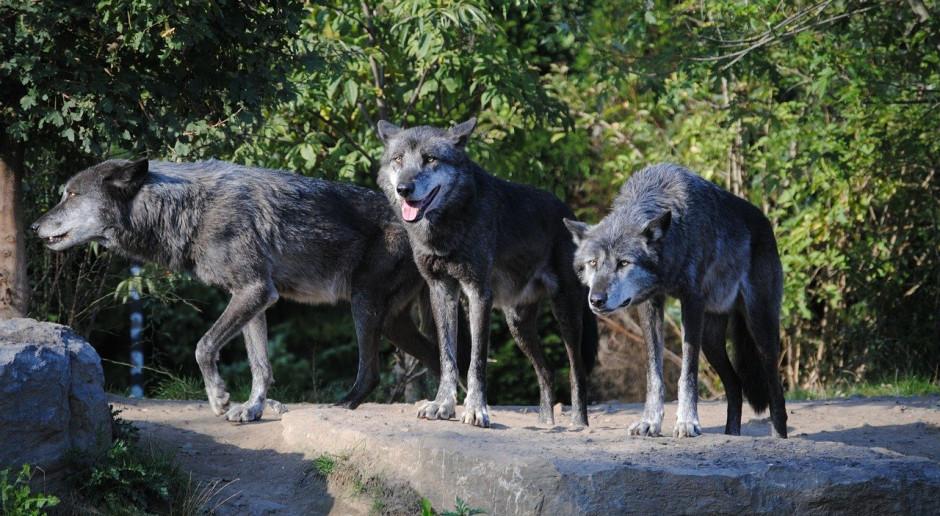 DBV o problemach z wilkami w Niemczech