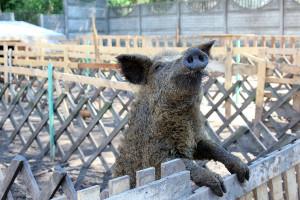 Hodowcy świń na wolnych wybiegach kontratakują