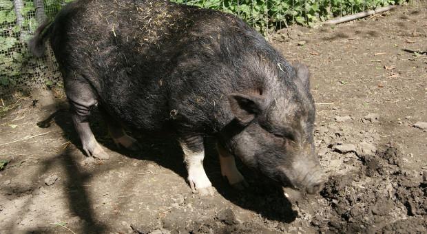 W Bułgarii świnie rzadkiej rasy poddano ubojowi z powodu ASF