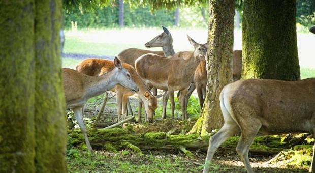 Woś obiecał rzetelniej policzyć zwierzynę w lasach