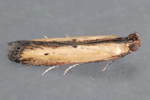 Szkodnik z rodziny omacnicowatych nowym zagrożeniem fitosanitarnym