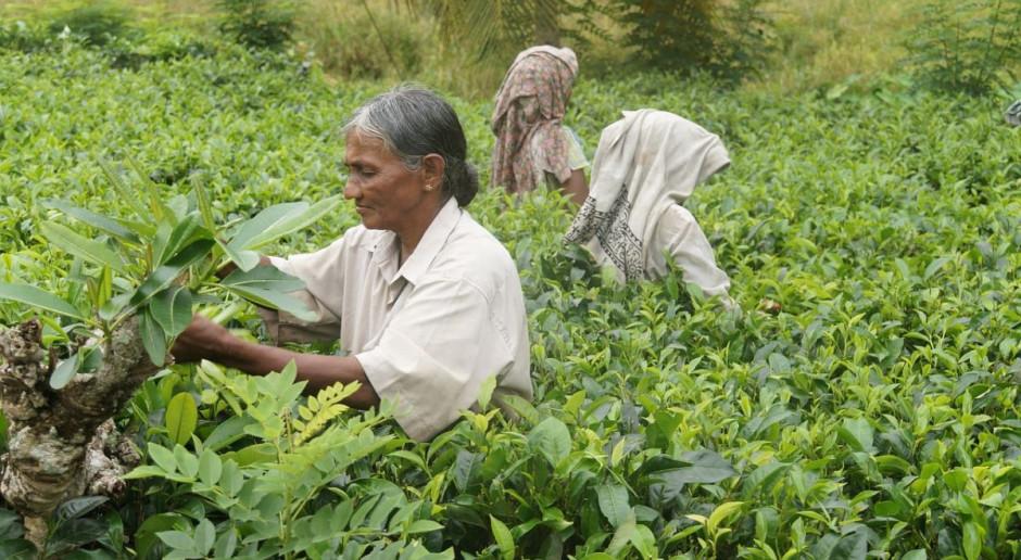 Lawina błotna pogrzebała 43 robotników na plantacji herbaty w Indiach