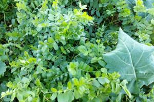 Dolnośląskie doświadczenia z uprawy rzepaku z roślinami pomocniczymi