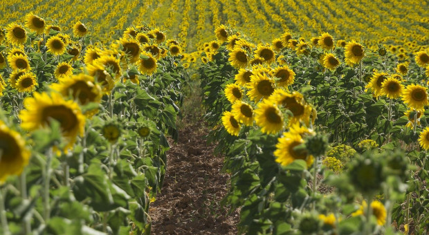 Ukraina wyeksportowała mniej roślin oleistych, ale więcej oleju roślinnego