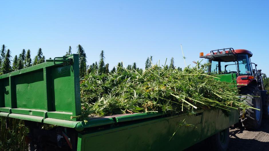 Zbiór dwufazowy przeprowadza się w momencie kiedy nasiona są dojrzałe w dolnej części wiechy.