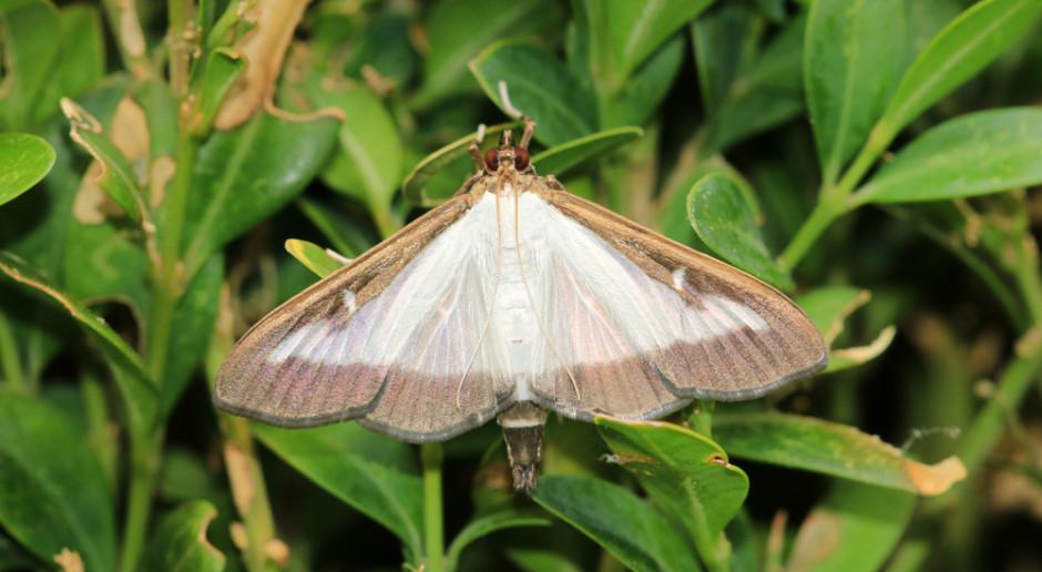 Ćma bukszpanowa i inne nowe gatunki doczekają się naturalnych wrogów