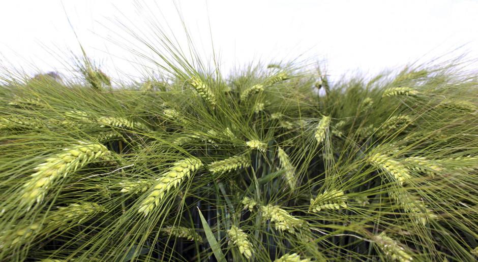 Wymagająca reprodukcja nasienna zbóż