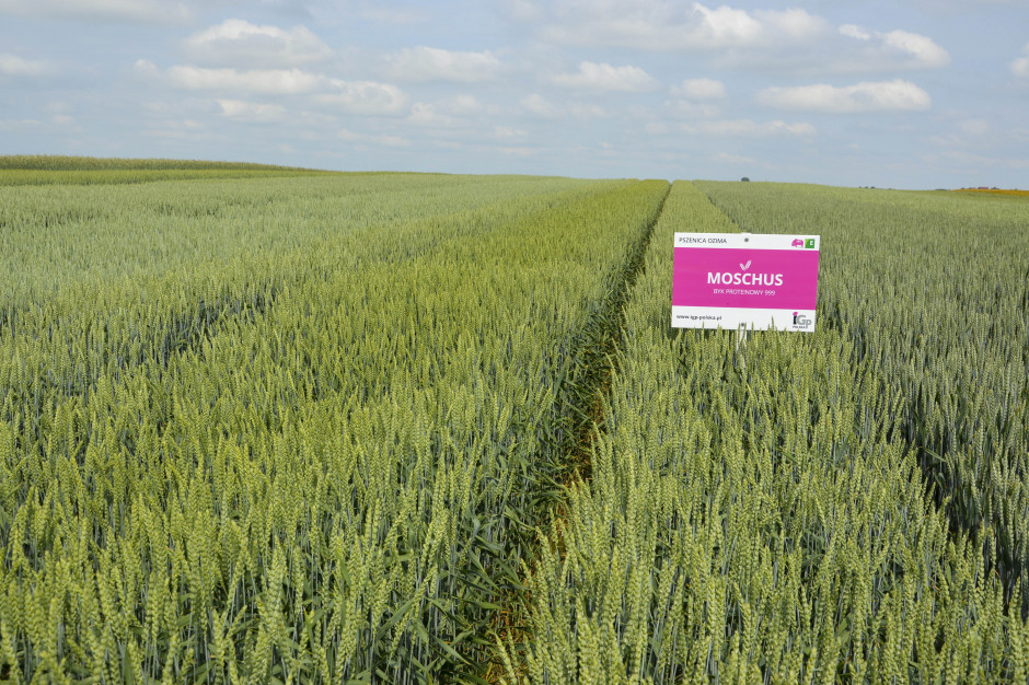 Odmiana pszenicy Moschus należy do grupy odmian elitarnych