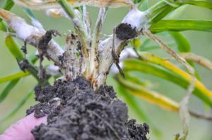 Pałecznica zbóż itraw (Typhula incarnata) należy do jednych znajgroźniejszych chorób zbóż ozimych, ajednocześnie donajtrudniejszych wzwalczaniu