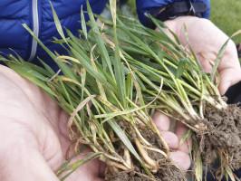 Długa jesień oraz ciepła zima wsezonie 2019/2020 sprzyjały wyjątkowo rozwojowi chorób liści zbóż. Zlewej strony rośliny pszenicy silnie porażone głównie mączniakiem prawdziwym zbóż itraw oraz septoriozą paskowaną liści. Zprawej: zdecydowanie mniej intensywne porażone rośliny, które wyrosły znasion zaprawianych fluksapyroksadem )(fot. marzec 2020 r.)