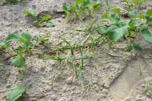 Eliminacja samosiewów zbóż w rzepaku ozimym