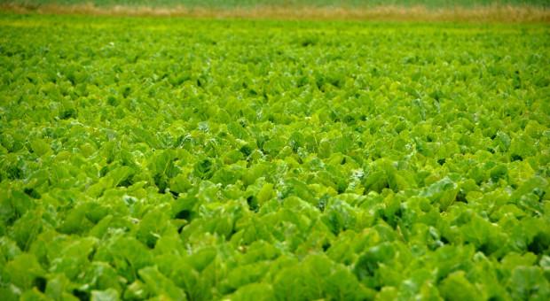 Na polskim rynku nasion bez… wigoru
