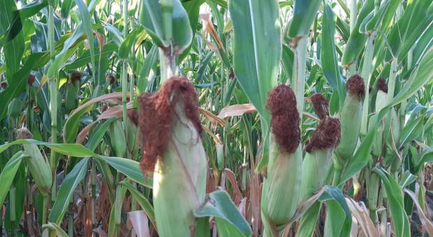 Czy pogłębiający się deficyt wody zagraża kukurydzy?