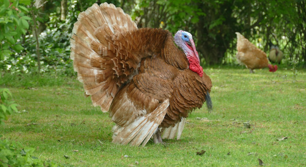 Opieszałe i nierówno traktujące producentów zwalczanie grypy ptaków