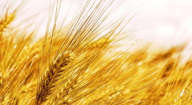 Wielka Brytania: Najmniejsze zbiory pszenicy od 30 lat i za dużo jęczmienia