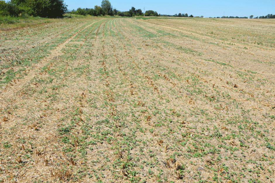 Pierwszym zabiegiem wykonywanym po zbiorze rzepaku jest mulczowanie, które ma na celu zniszczenie łodyg oraz pobudzenie opadłych na powierzchnię gleby nasion do kiełkowania