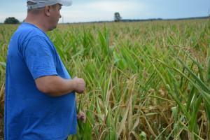 Susza doskwiera kukurydzy