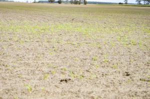 Konieczne jest odchwaszczanie plantacji rzepaku. Najlepsze efekty wzwalczaniu samosiewów zbóż oraz pozostałych jednoliściennych, takich jak chociażby perz właściwy możemy uzyskać pozastosowaniu graminicydów, które ograniczają jedynie gatunki jednoliścienne. Niższe dawki graminicydów zalecane sądo zwalczania gatunków jednoliściennych rocznych (wtym samosiewów zbóż), natomiast maksymalne dawki stosuje się doograniczania perzu właściwego. Trawy jednoroczne (samosiewy zbóż) sąnajbardziej wrażliwe od3.liścia dokońca fazy krzewienia(BBCH 13-29).