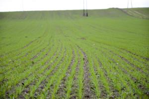 Kiedy zboża wytworzą 3-4liście (BBCH 13-14), stosujemy makro- imikroelementy. Szczególnie nawozić nalistnie trzeba, gdy zasobność gleby wskładniki jest niska oraz przy niskich dawkach doglebowych wstosunku dopotrzeb pokarmowych roślin. Nawozimy nalistnie, gdy uprawa prowadzona jest naglebach oniewłaściwym pH, ponieważ wnoszone doglebowo składniki sąwówczas gorzej przyswajane –naglebach kwaśnych: fosfor, potas, magnez, siarka, molibden; nazasadowych: fosfor, bor, miedź, cynk, mangan, żelazo. Ponadto nastanowiskach przesuszonych utrudnione jest pobieranie zgleby fosforu ipotasu, wówczas warto rozważyć nawożenie nalistne. Dobrze jest uwzględnić wprogramach nawozowych jesiennych zbóż nawożenie mikroelementami (głównie: miedź, dalej mangan, cynk, także molibden, bor).▪
