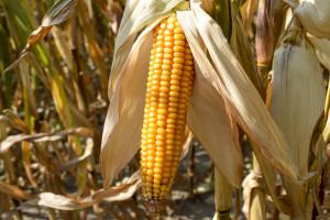 Czy kukurydza zaplonuje tak, jak chcemy?