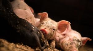 Okiem Farmera: Krok w tył w zwalczaniu ASF na Lubelszczyźnie