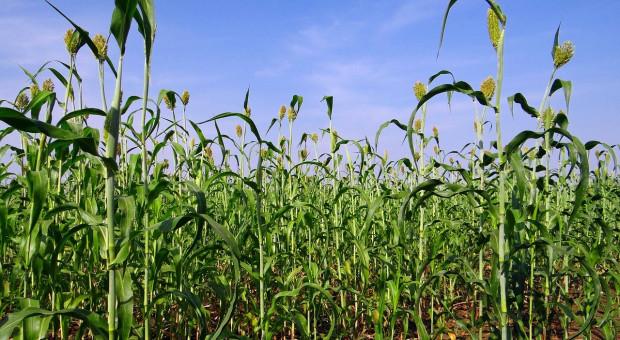 UE obniżyła stawki celne na import kukurydzy, sorgo i żyta do zera
