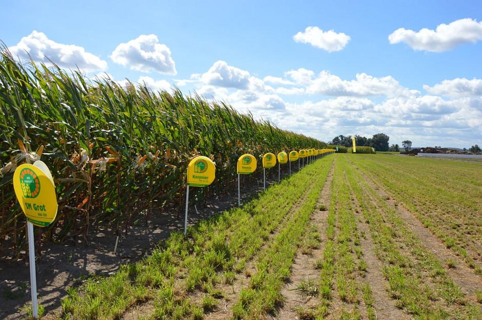 Odmiany kukurydzy Hodowli Roślin Smolice; Fot. Katarzyna Szulc