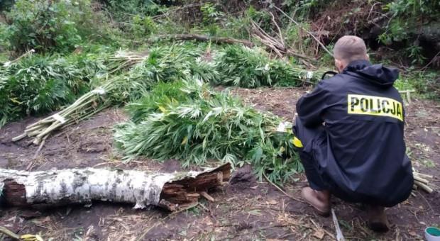 Konopie ukryte na polach, w tunelach ogrodniczych i w lesie