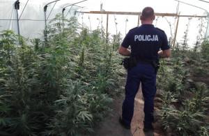 W Brodnicy konopie rosły w tunelach foliowych i na działce właściciela, Foto: Policja