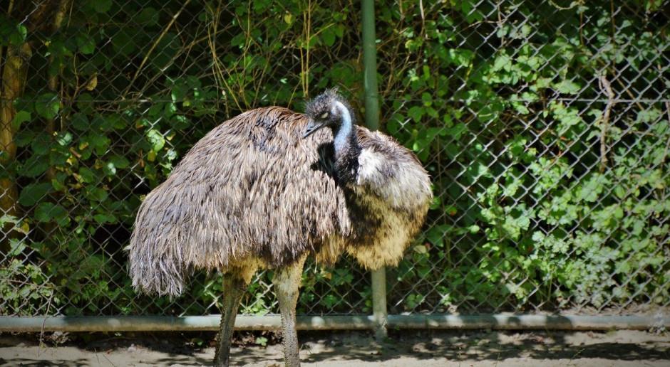 Grypa ptaków w Australii