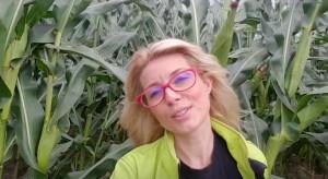 Stan plantacji kukurydzy w rejonie zagrożonym suszą