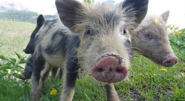 UE planuje wprowadzenie etykiety dotyczącej dobrostanu zwierząt