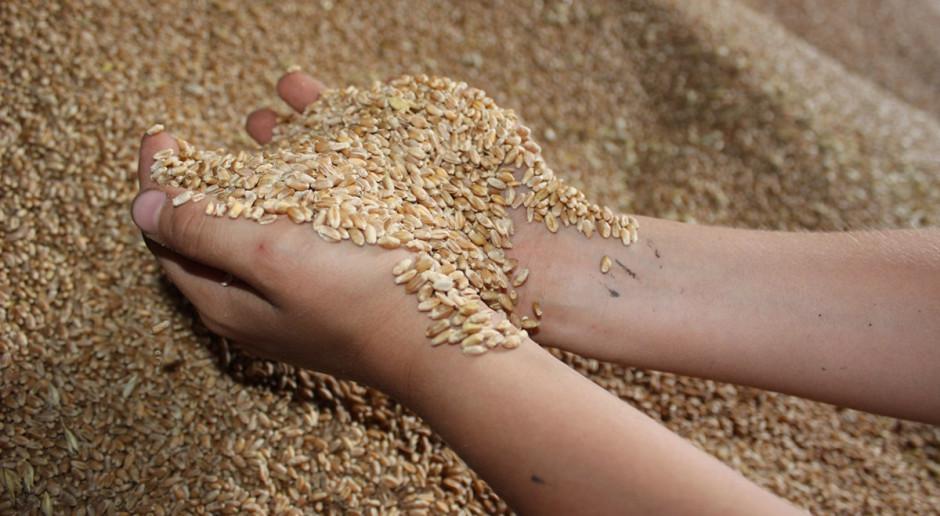 Wysokie plony pszenicy ozimej w roku 2020. Które odmiany plonowały najlepiej?