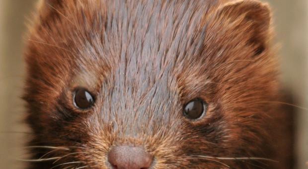 Koronawirus: Niderlandy zakazują hodowli norek