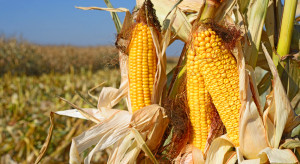 Notowania kukurydzy na Platformie Żywnościowej